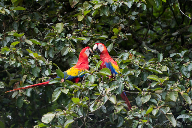 Scarlet Macaws, Pacific Coast, South of Puntarenas, Costa Rica, 2012
