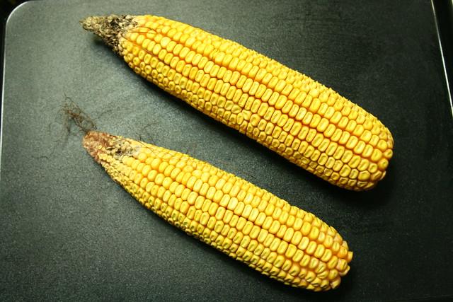 受災玉米與正常大小玉米比較