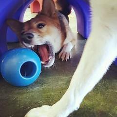 Action shot of Archie #funnypuppy #dogsandtheirtoys #dogsplaying in #doggiedaycare #camarillo near #ventura #venturacounty #805 #missionoaks