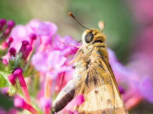 macro insect © skipper northcarolina lantana shallowdof backyardcritters garyburke olympuse620 olympusmacrotube