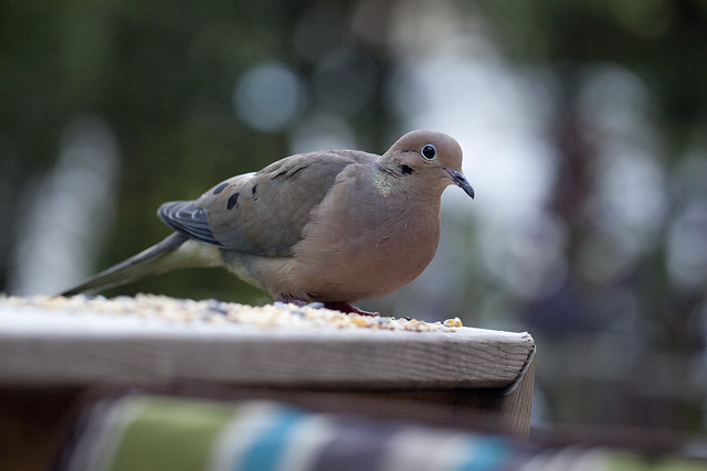 mourning dove 3