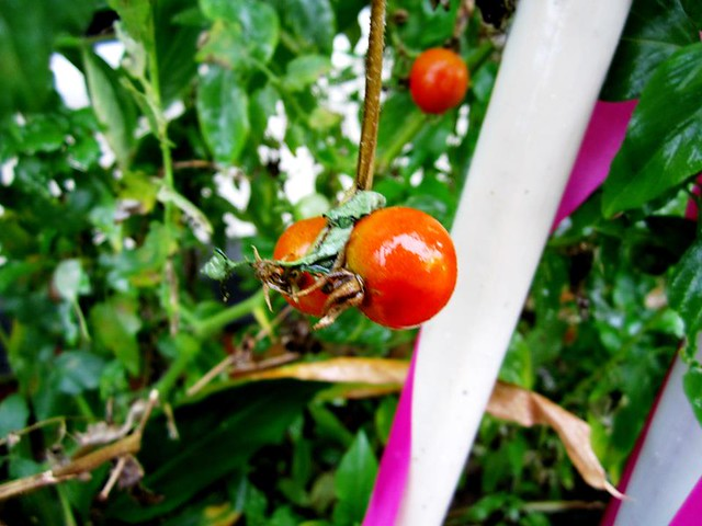My cherry tomatoes
