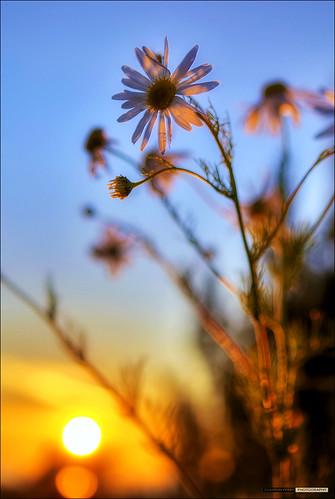 flowers sunset summer vancouver bokeh richmond daisy hdr