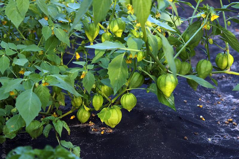 Tomatillo, Physalis philadelphica (Physalis ixocarpa) cv. — Физалис овощной 'Королек' и 'Земляничный'. Kitchen-garden, vegetable garden