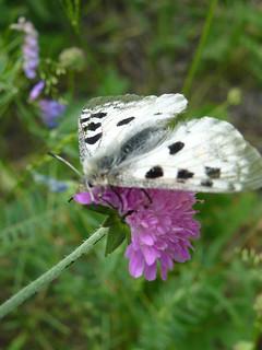 papillon blanc taches noires -3