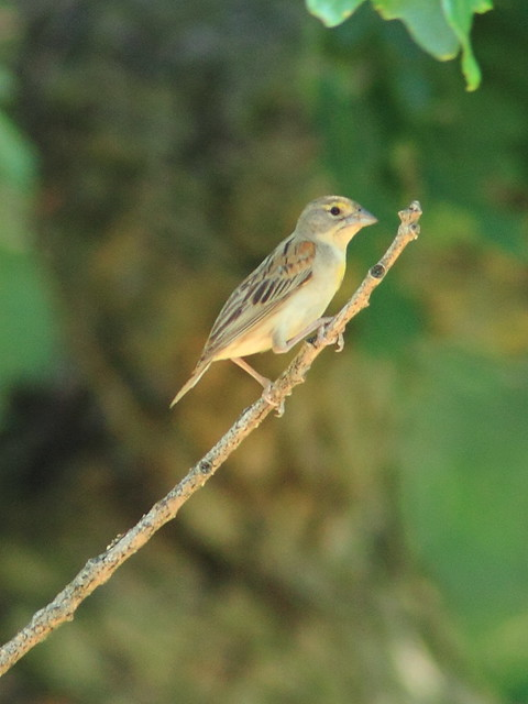 Dickcissel female 2-20120716