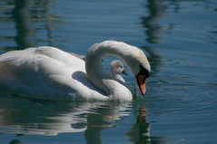 Swan and baby
