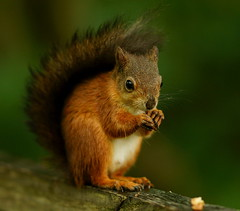 [フリー画像素材] 動物 1, 栗鼠・リス ID:201207191000