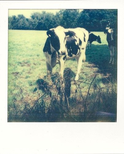 #10 curious cow