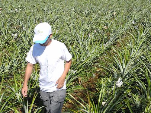 為了改造土鳳梨命運,原來從事畜牧的賴萌宏對鳳梨田農事知之甚詳。