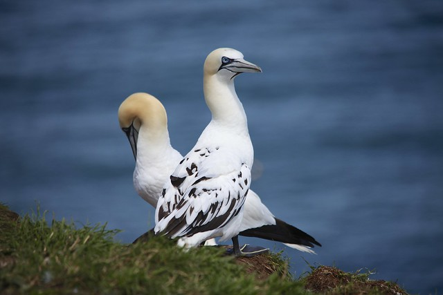 Northern Gannet (Morus bassanus) on the RSPB Bempton Cliffs