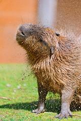 [フリー画像素材] 動物 1, 哺乳類, カピバラ ID:201207301000