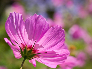 Cosmos in the sunshine