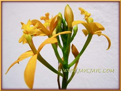 Epidendrum x obrienianum blooming again, 10 months after the last flowering