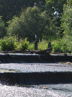 Heron by the weir