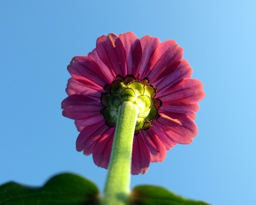 pink ny newyork flower green sunshine stem bluesky lookingup underside patterson pedals viewfrombelow