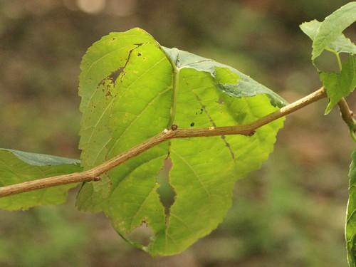 ヤマグワの葉