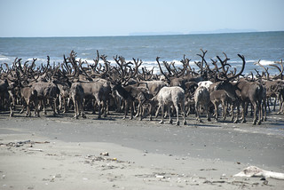 Reindeer Herd on Ikpek Beach