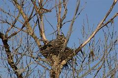 Great Horned Owl Alberta