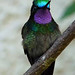 Purple Throated Mountain Gem, male, Monteverde (John Lockwood)