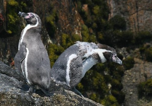 Humboldt penguin Birding in Peru with Nature Expeditions