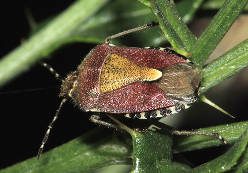 Sloe Shieldbug 10431
