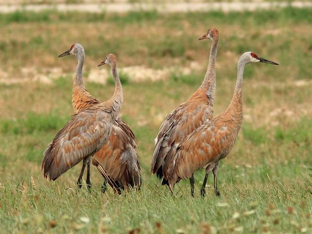 Sandhill Crane family 2-20120812
