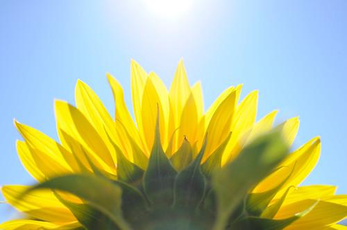 [フリー画像素材] 花・植物, 向日葵・ヒマワリ ID:201208220400