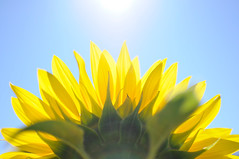 [Free Images] Flowers / Plants, Sunflower ID:201208220400