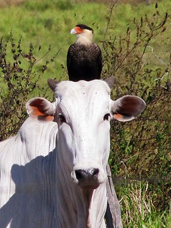 Caracara plancus and Nelore cow