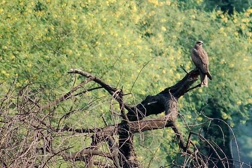 Ein Falke wartet auf Beute zum Jagen