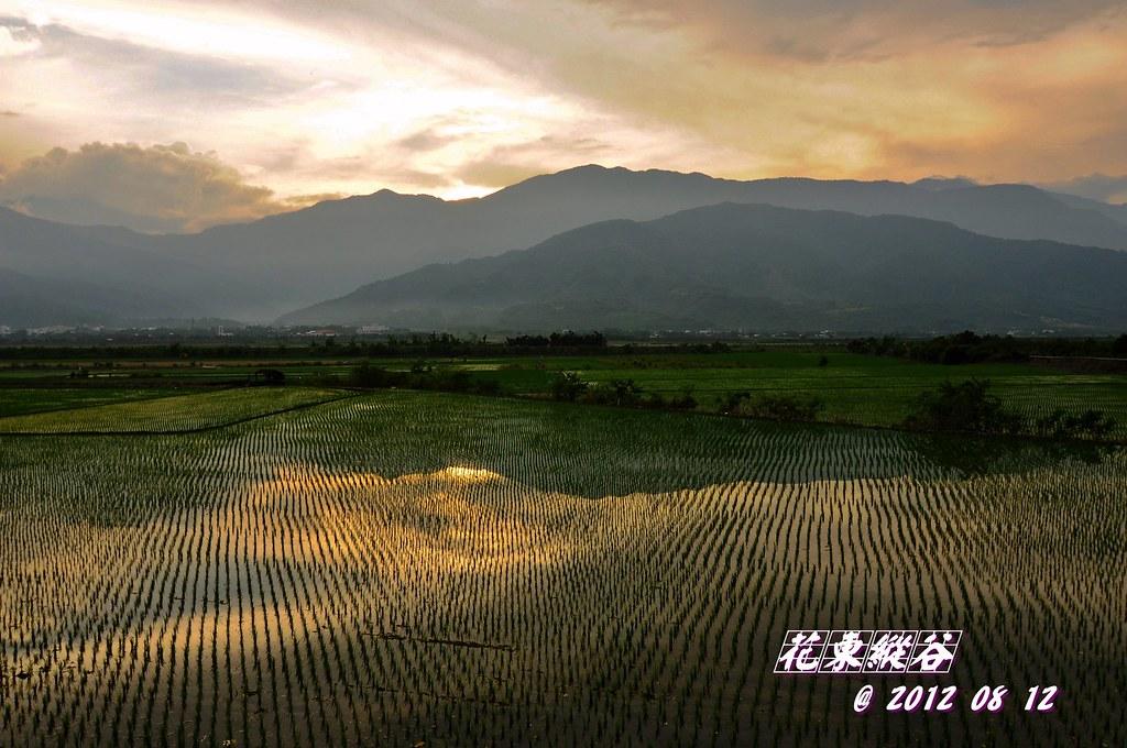 花東縱谷  稻影