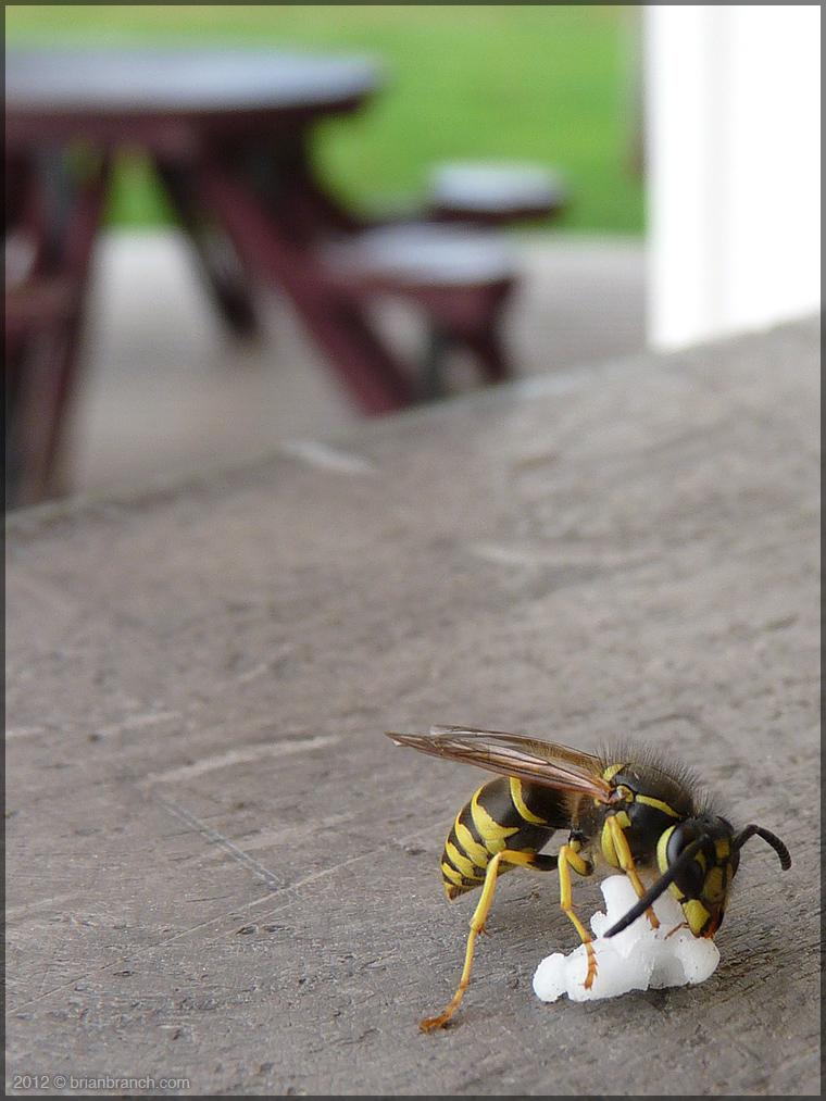 P1270856_wasp