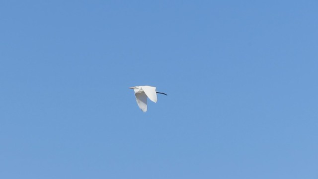 MVI_9308 120729 great egret flying over Sperling preserve