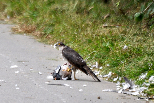 Sparrow Hawk with Kill