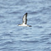 Small photo of Audubon's Shearwater
