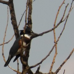female belted kingfisher, bare tree, 2