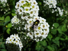 fly on alyssum