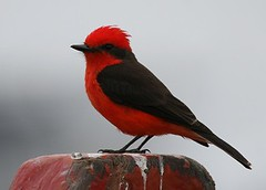 Vermilion flycatcher - Birding with Nature Expeditions in Peru