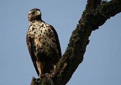 Black-chested Buzzard-eagle Birding in Peru with Nature Expeditions