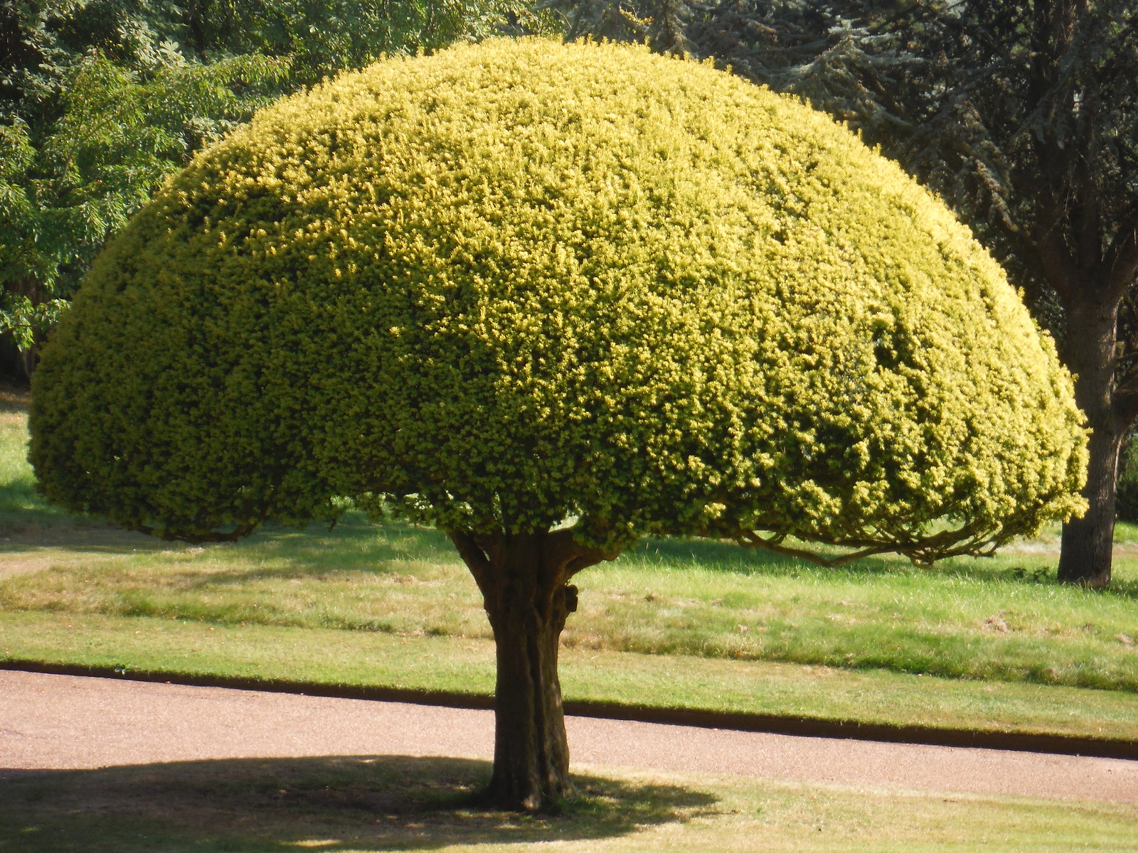 Tree, Waddesdon Manor Gardens SWC 192 Haddenham to Aylesbury (via Waddesdon)