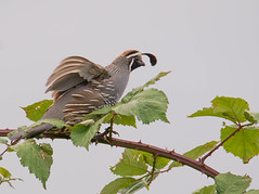 California Quail on Himalayan Blackberry