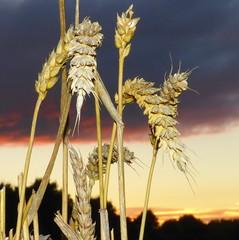 Corn flash