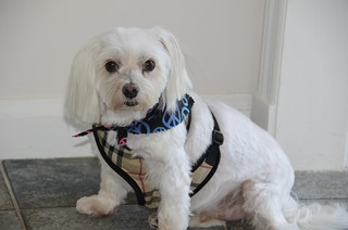 Picture Of Lucky The Maltese Dog Taken After Grooming. Photo taken Saturday July 8, 2012
