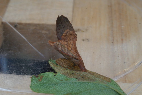 Coleophora siccifolia larval case