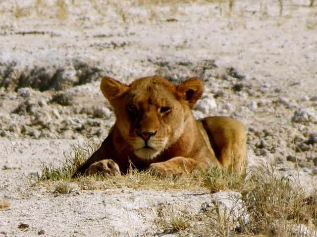 lions at etosha park
