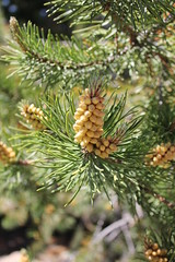 larch, flower, branch, flora, fir, spruce,