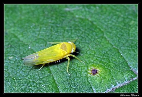 Typhlocybinae (Alebra sp. ?)