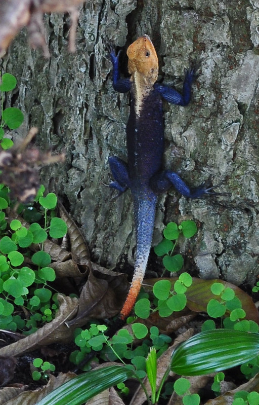 African Rainbow Lizard