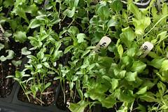fall seedlings 001c